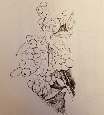 Pyracantha-drawing