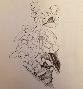 Pyracantha koidzumii sketch drawing