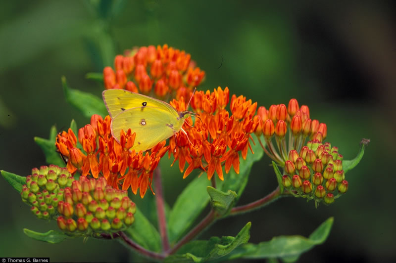 Perennial Plant Association plant of the year, Asclepias tuberosa