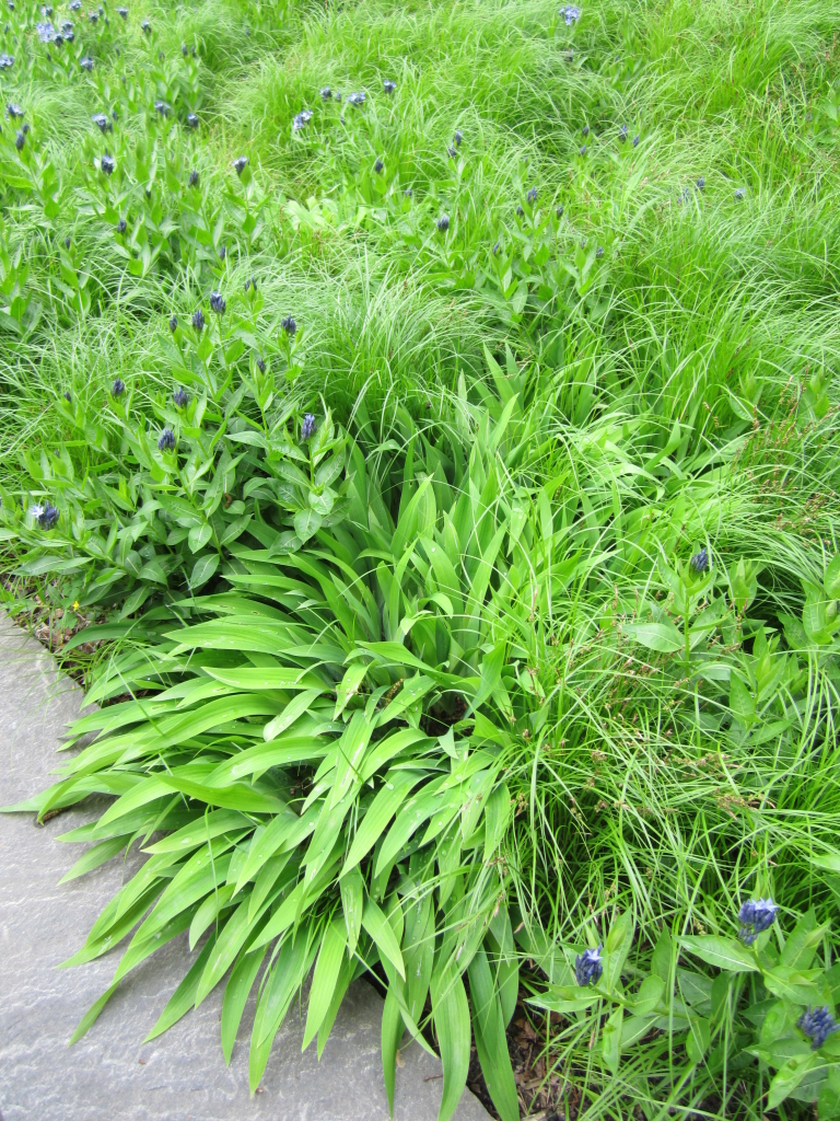Carex platyphylla w Amsonia tab Blue Ice_NYBG_photo by marisa