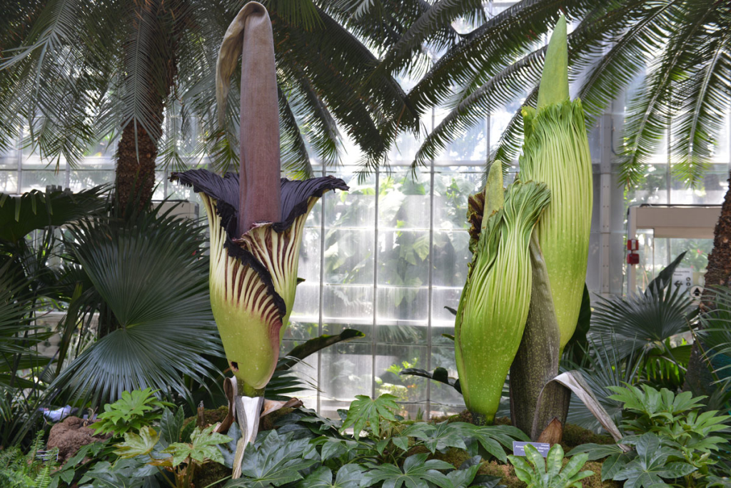 Image of all 3 corpse flowers. Photo take by USBG.