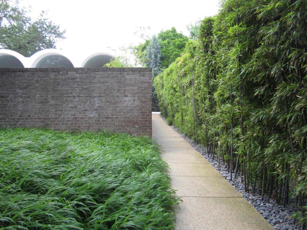 A Washington, D.C., residence's wall of Phyllostachys nigra (black bamboo)